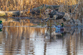 How To Hunt Dense Cover Ducks Waterfowl Hunting