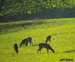 Most deer will feed together in a field in a configuration such as this to cover all angles and cover their hides from predators. (Jeff Shaw image)