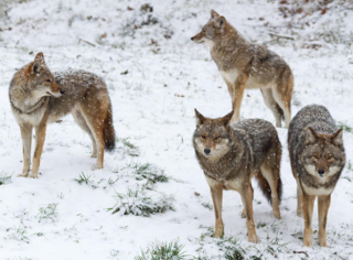 Coyotes are much smaller than wolves, making it easy to tell the difference between the two. © Josef Pittner/Shutterstock