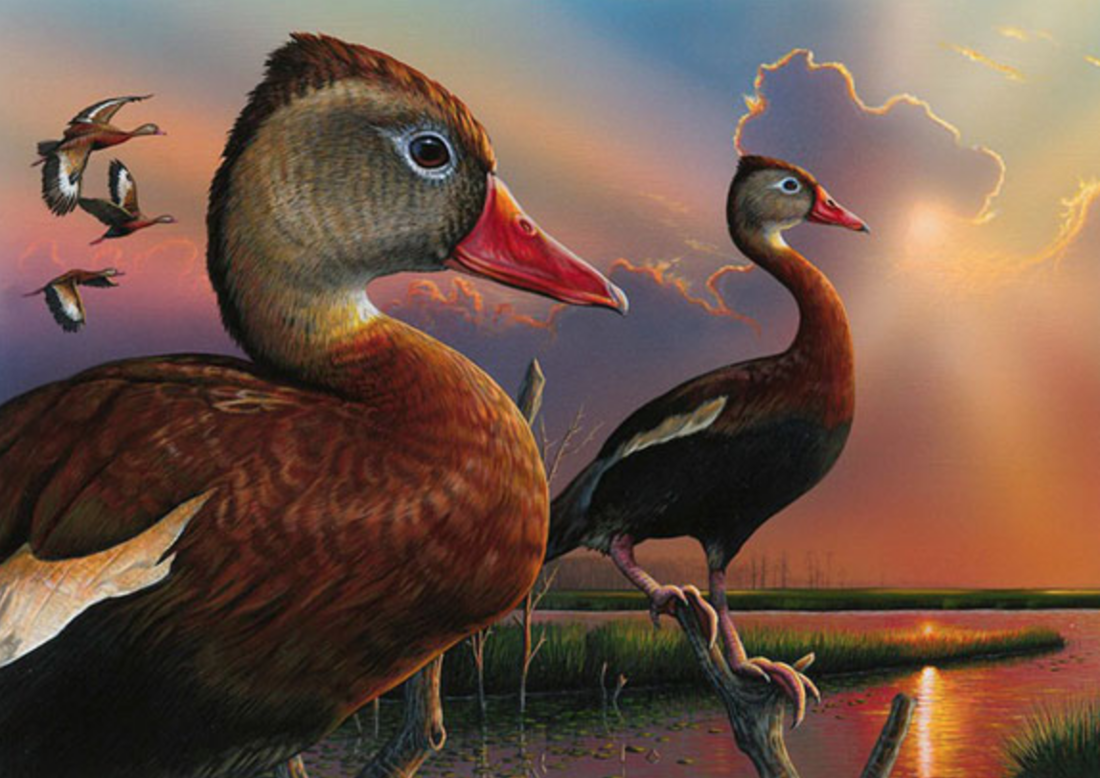 Black-bellied whistling ducks, the subject of the 2020 federal duck stamp, are familiar sights for Florida hunters. Photo © USFWS