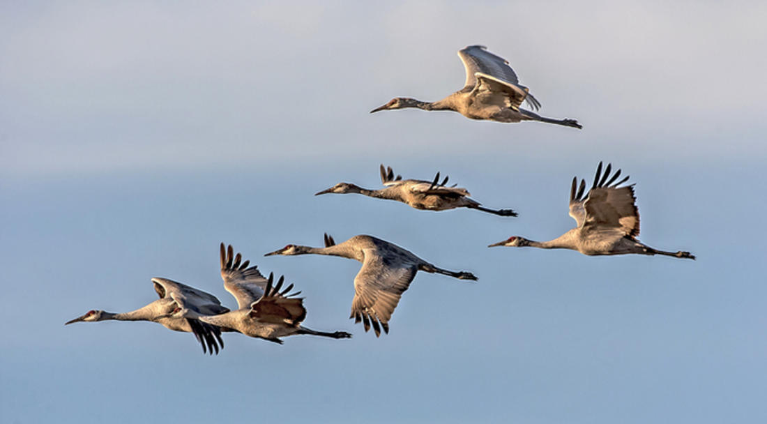 Some Alabama hunters will be eagerly awaiting the sounds of sandhill cranes this fall. ©Tom Zeman-Shutterstock