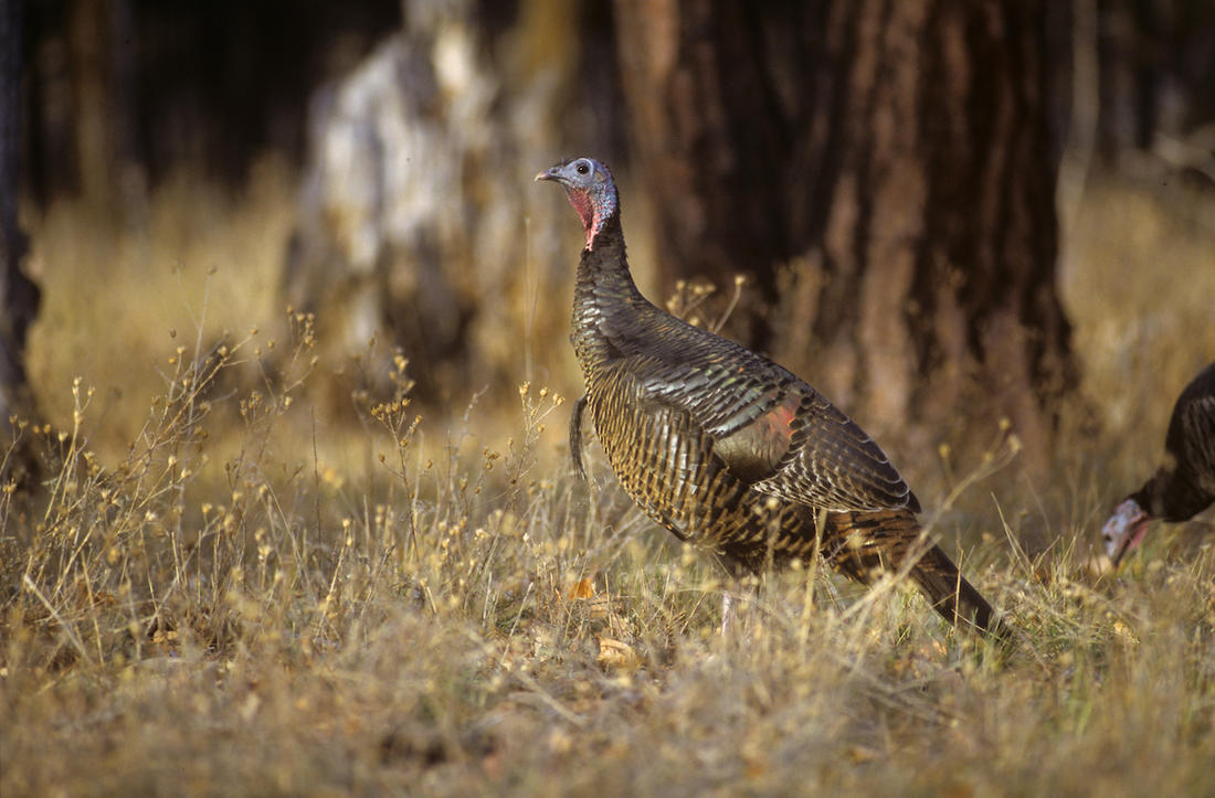 "Fall turkey seasons are open in 42 states around the country and often include ""either sex"" turkeys. © John Hafner photo"