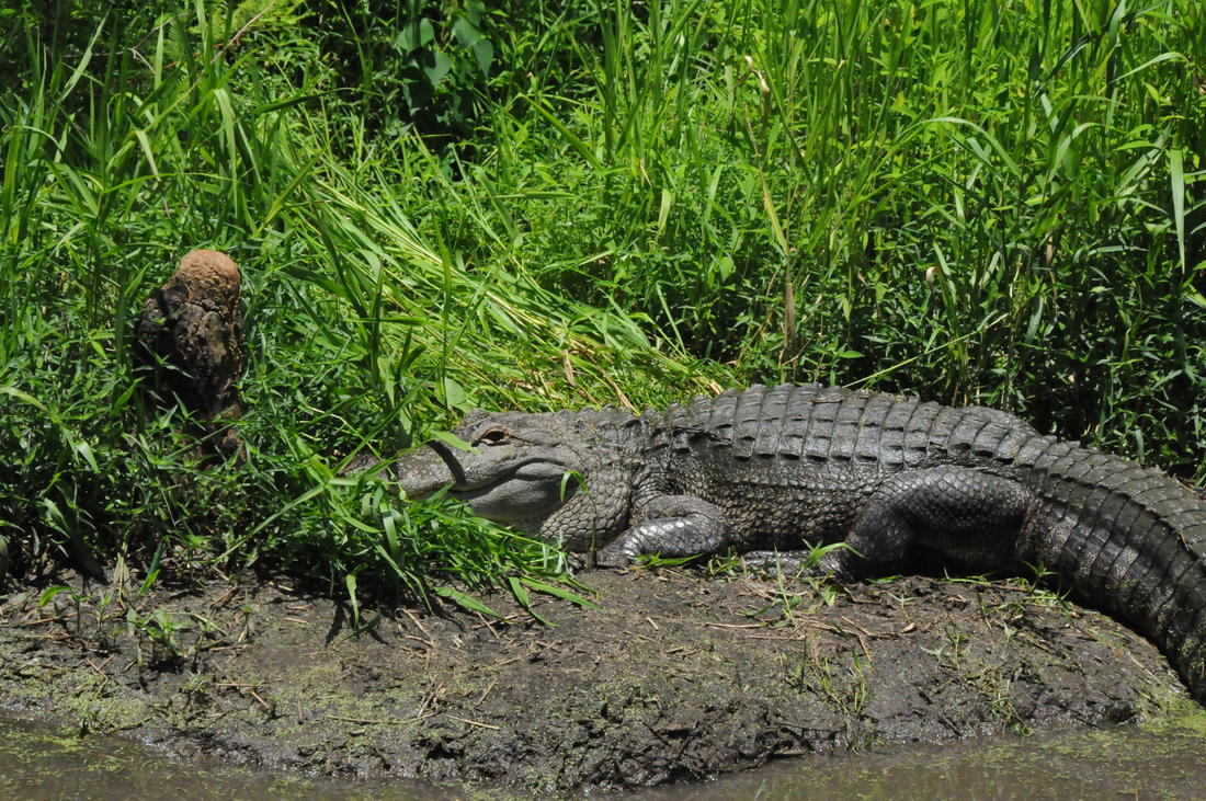 The proposal would also allow alligator hunting at three national wildlife refuges. (author image)