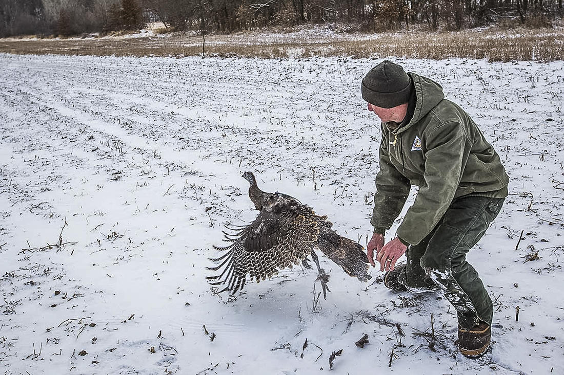 As part of ongoing studies, the team will first capture hens from January to March 2021, fitting them with tracking devices that collect a position every 30 minutes. (Missouri Dept. of Conservation photo)