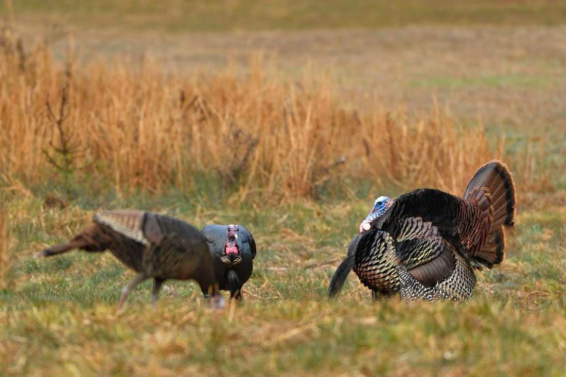Northeastern turkey hunters chase spring Easterns like these. © Tes Randle Jolly photo