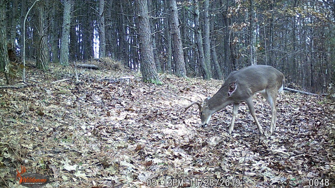 Whitetails are tougher than many hunters realize, and they will rarely abandon their core range. (Trail camera photo / Will Brantley)