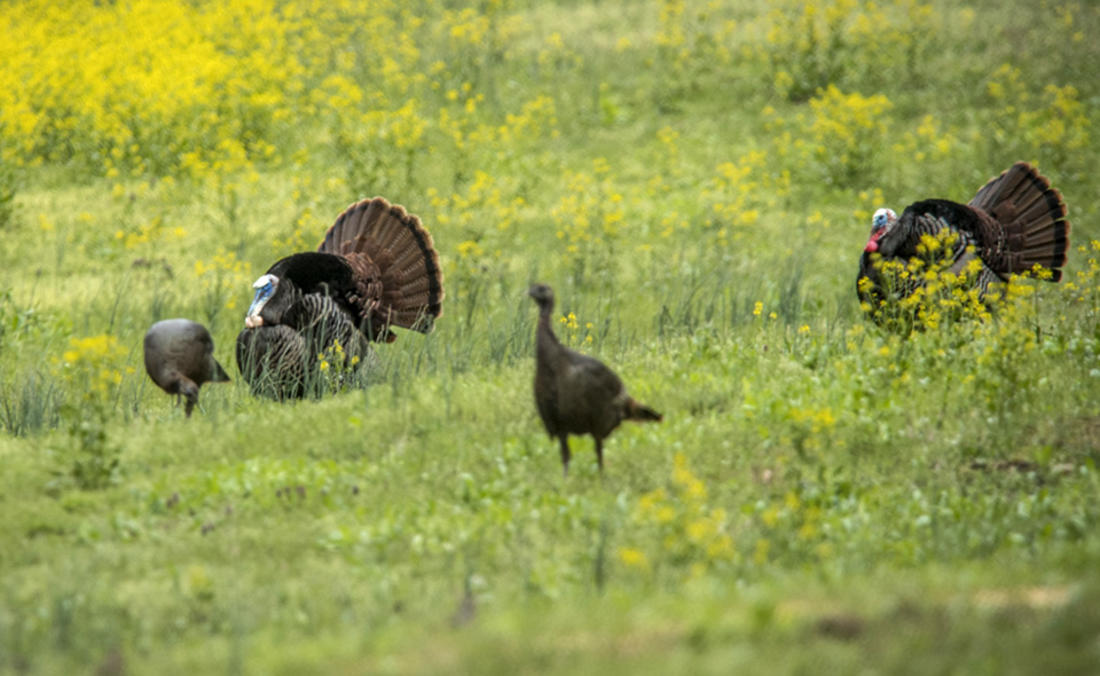 Seasons must be coordinated to allow for breeding activity to take place without interruption. Chamberlain's well-documented studies show roughly 80% of the turkey kill occurs before the peak of incubation. In short, dead gobblers equal no breeding with available hens. (© Bill Konway photo)
