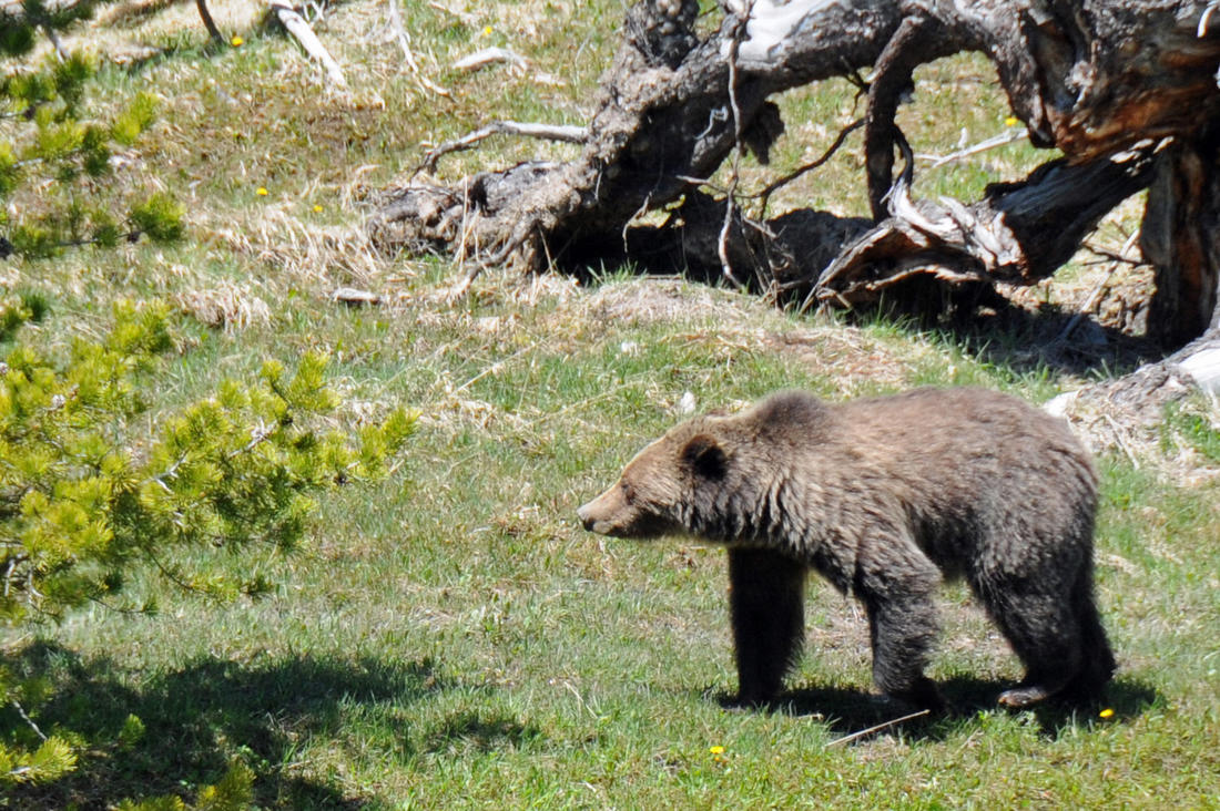 A runner and a young grizzly bear collided on a trail in Glacier National Park. (Image by Stephanie Mallory)