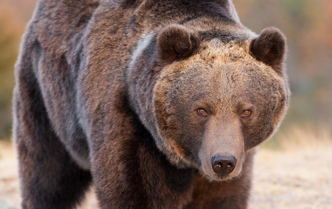 A grizzly bear, likely defending a cub and food source, attacked a father and son hunting in Montana. (© Dennis W Donohue/Shutterstock)