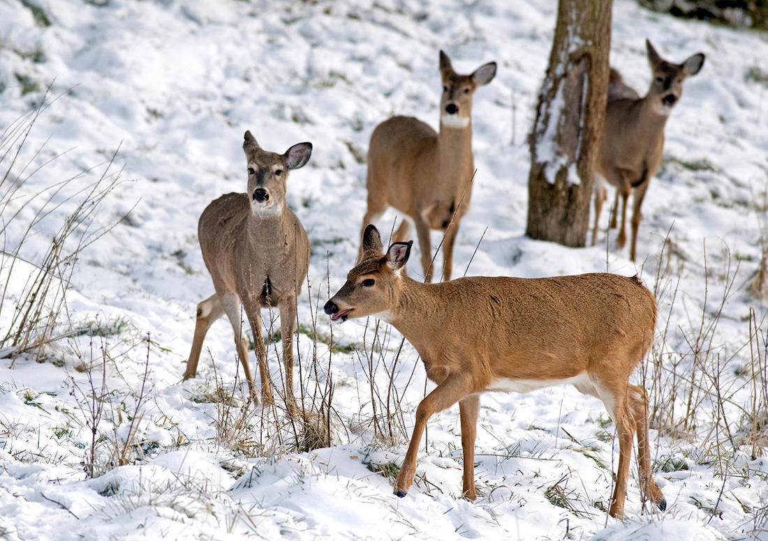 Season winding down and you still need some meat? Don't be afraid to take a late-season fawn for some excellent venison. (John Hafner photo)
