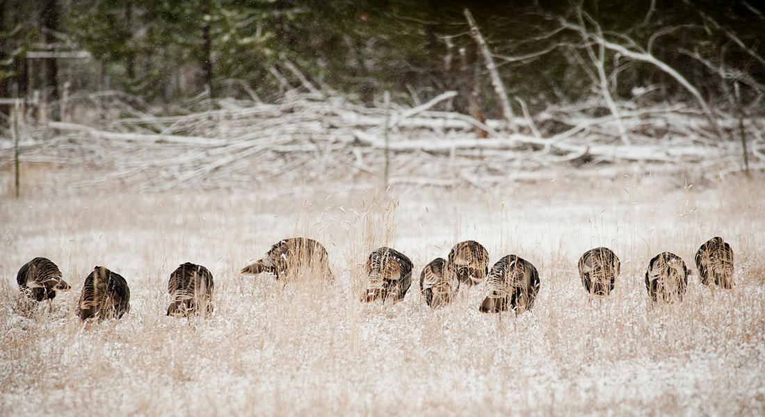 Find food sources. Winter turkeys will follow. (© John Hafner photo)