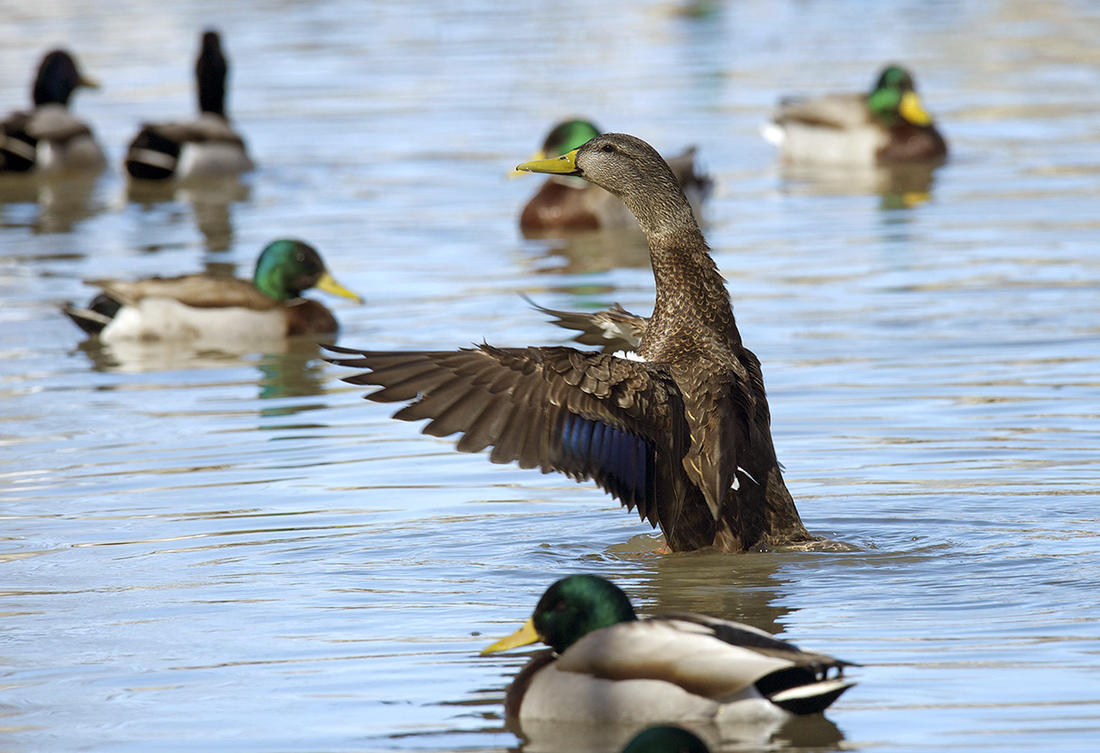 Black ducks offer great hunting opportunities in northern portions of the Atlantic Flyway, but the action doesn't stop there. From woodies to sea ducks, the flyway features a cornucopia of waterfowling delights. Photo © Images on the Wildside