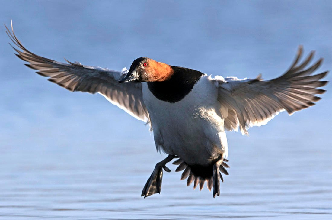 Duck hunters will go to great lengths to score that drake canvasback of a lifetime. But where should they focus their efforts? Photo © Images on the Wildside