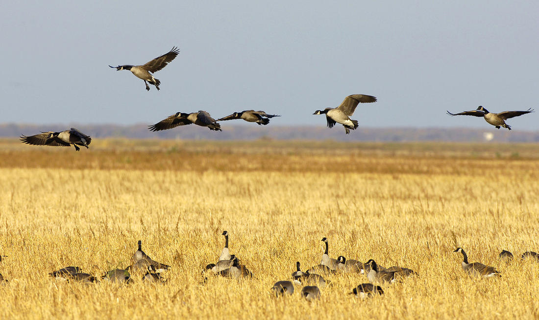 Geese won't land there. Or will they? Never make assumptions with wild birds. Photo © Images on the Wildside