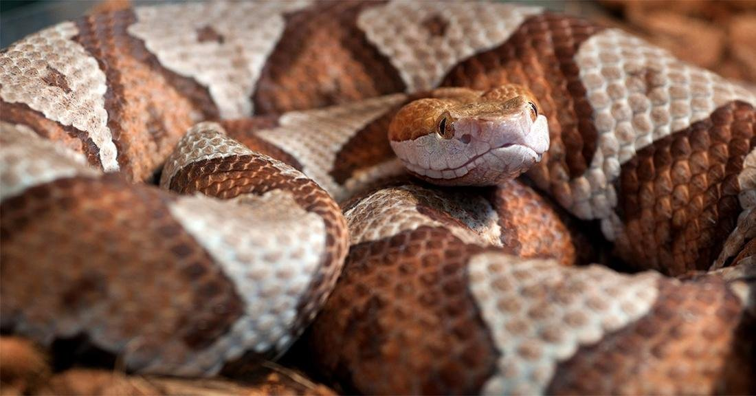 A toddler is recovering after being bitten by a copperhead that was hiding in a toy pile by the family's back door. (© jadimages-Shutterstock)