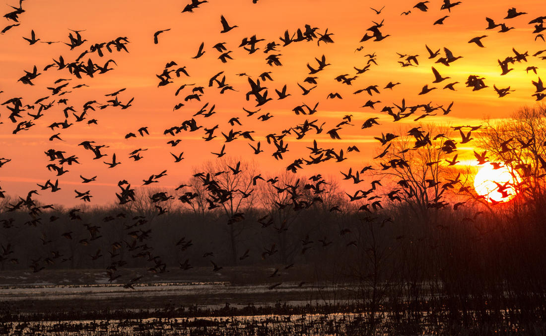Breeding conditions in many critical areas looked good this spring and summer, so biologists anticipate strong production from many duck species. Photo © Jeff Gudenkauf