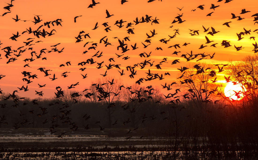 Are those ducks ever going to come off the refuge? Maybe not. Photo © Jeff Gudenkauf