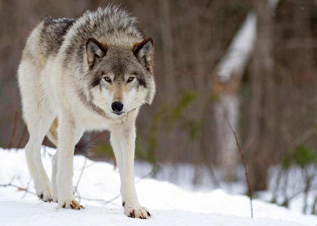 The gray wolf population in Idaho is estimated at around 1,000 animals. ©Jim Cumming-Shutterstock