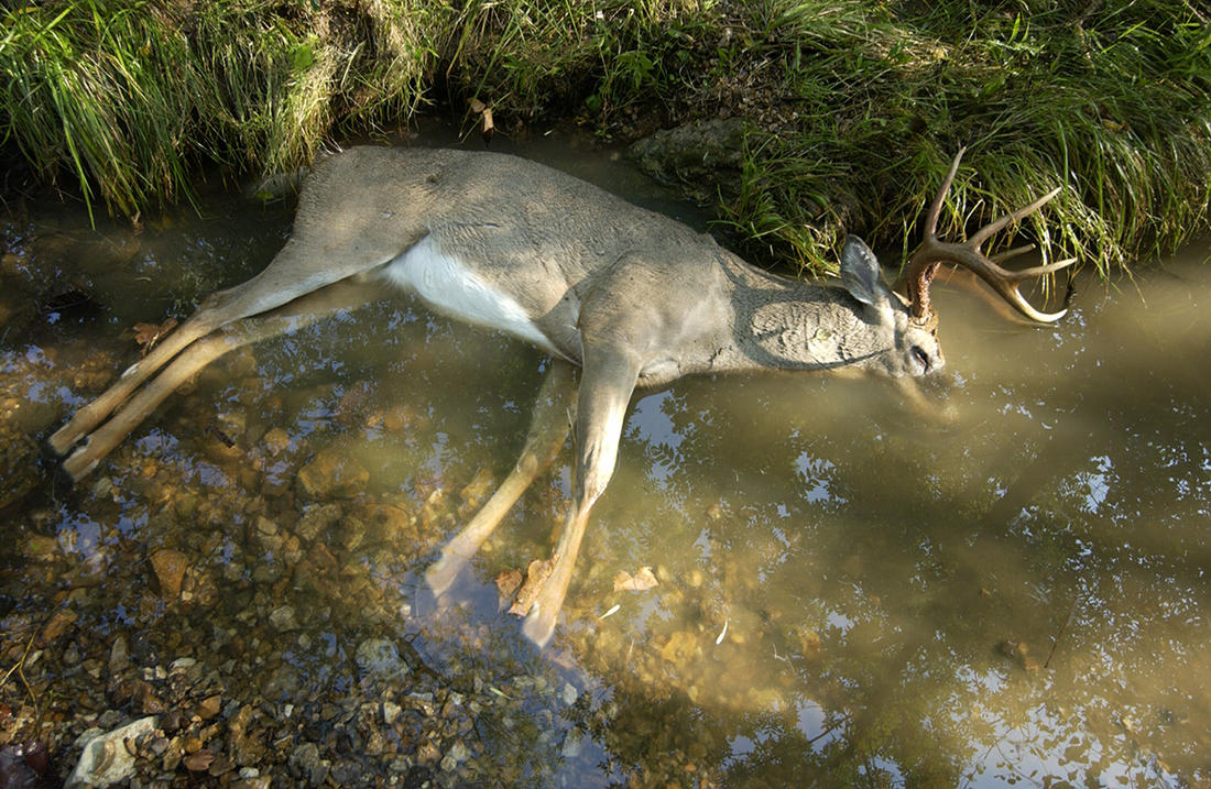 Deer that succumb to EHD are frequently found in creeks or ponds. (Missouri Department of Conservation image)