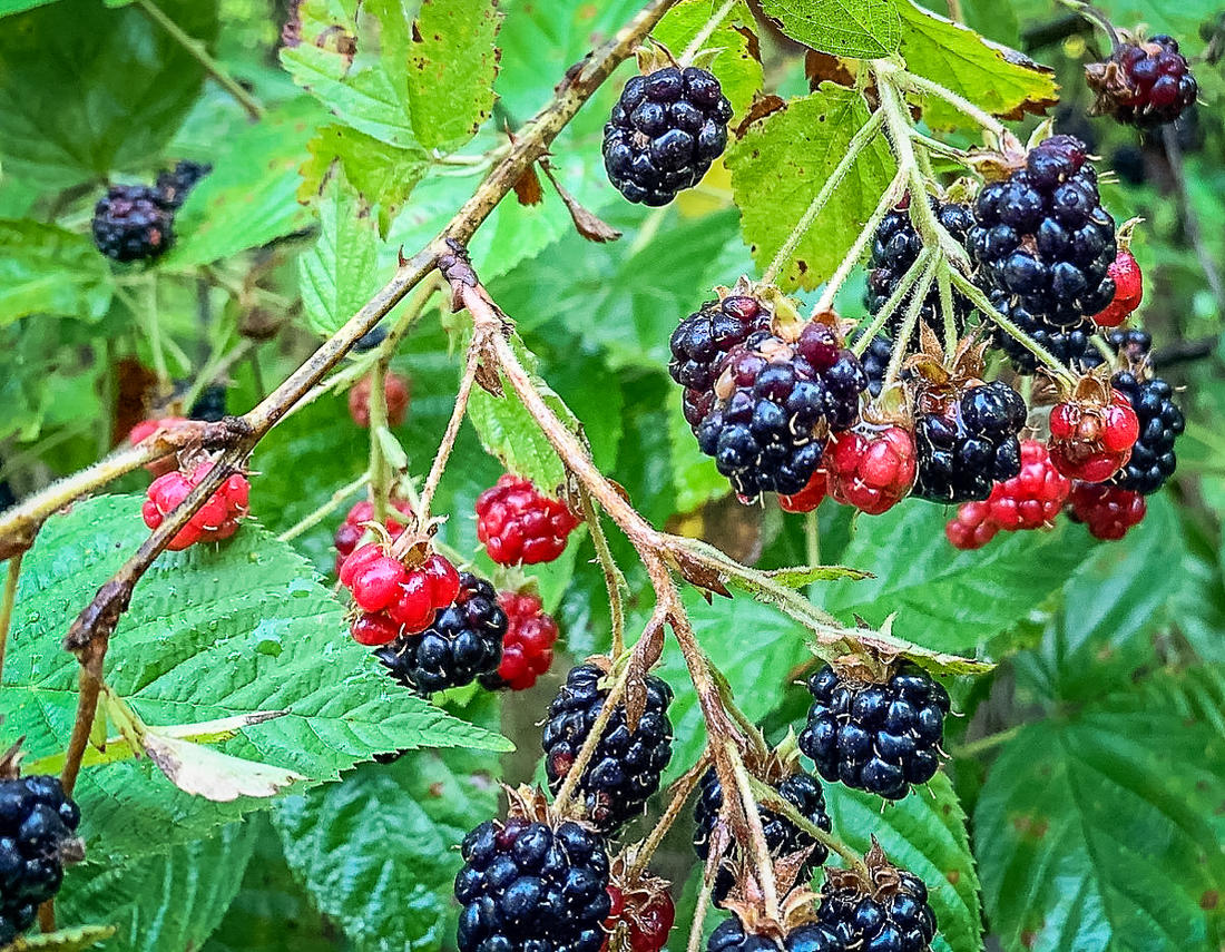 Wild blackberries are one of the best parts of summer.