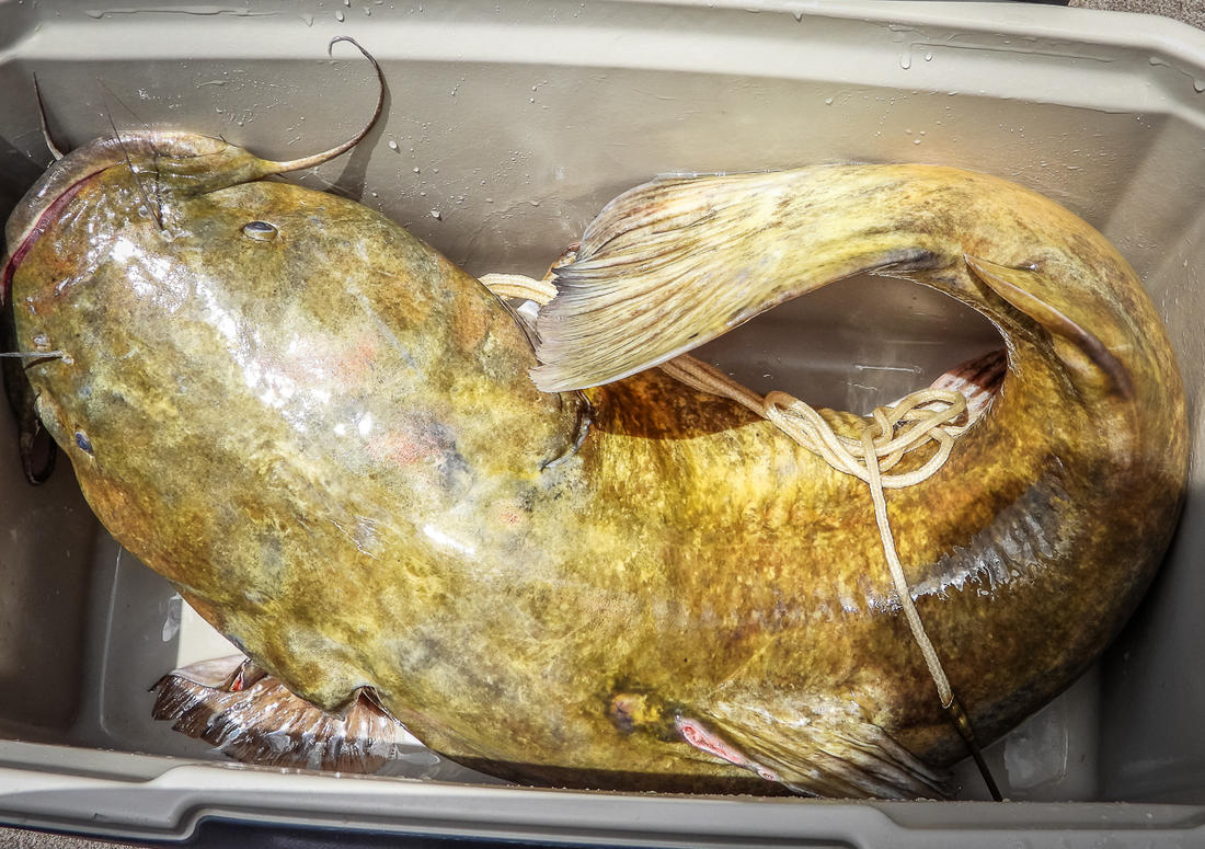 Big catfish have big bellies. And that means lots of belly meat.