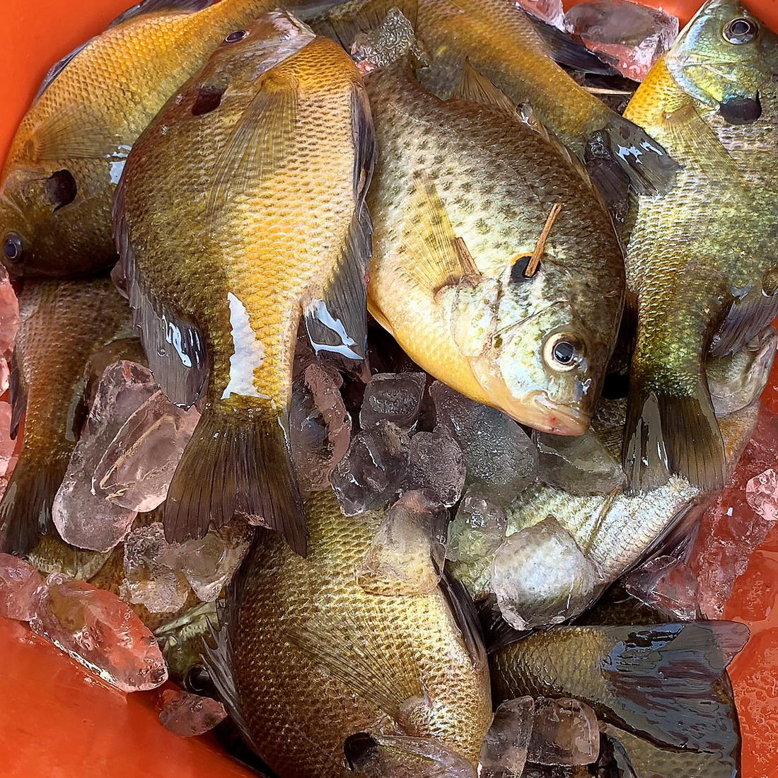 A cooler full of bluegills is the start to a great meal.