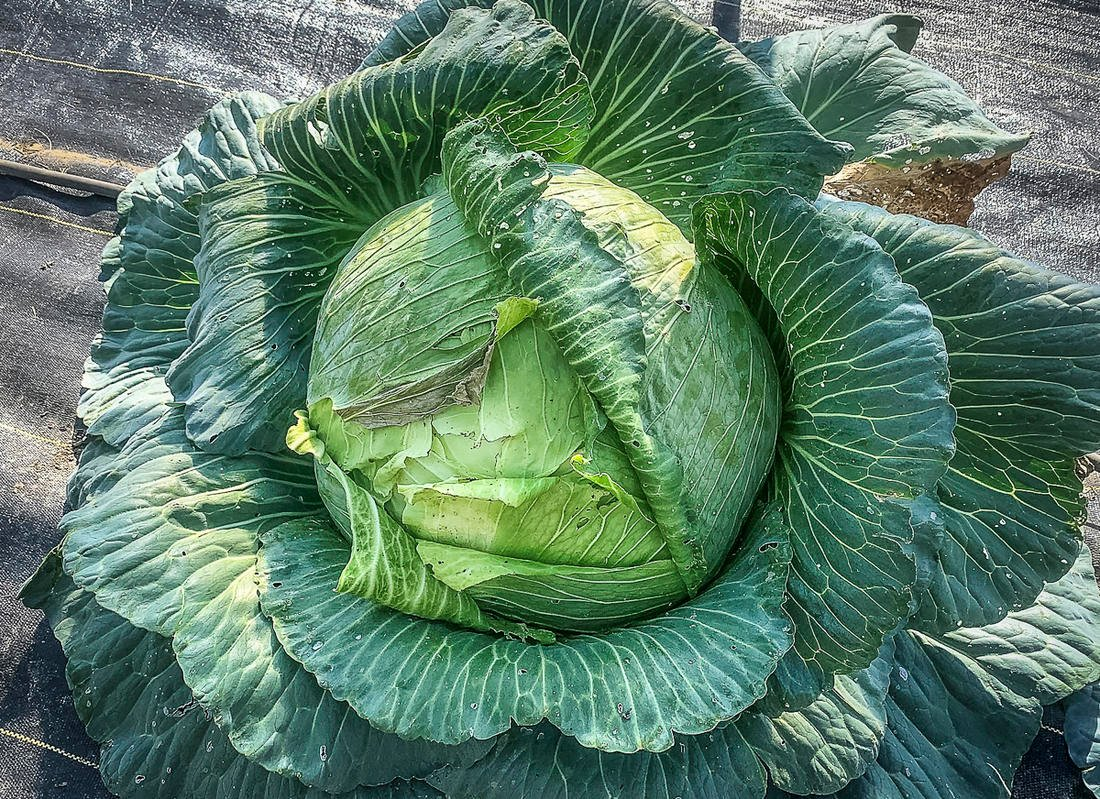 Kraut is a great way to preserve fresh cabbage for long-term storage.