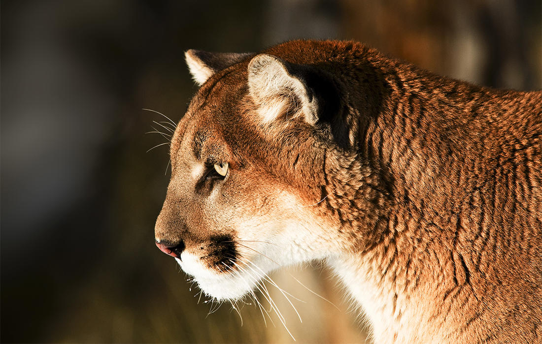 Mackenzie Lappin shot an aggressive mountain lion after she was unable to scare it off. ©Scott E Read-Shutterstock