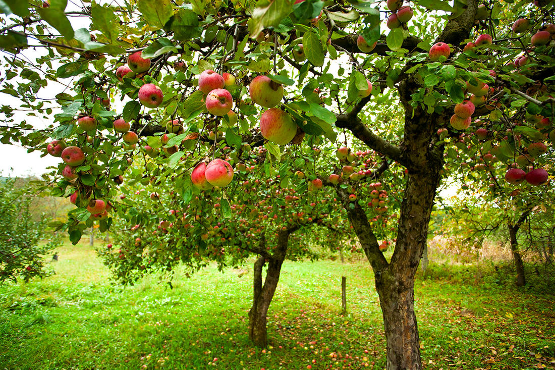 A small orchard will supply a large family with fruit. © Slatan-Shutterstock-orchard.jpg