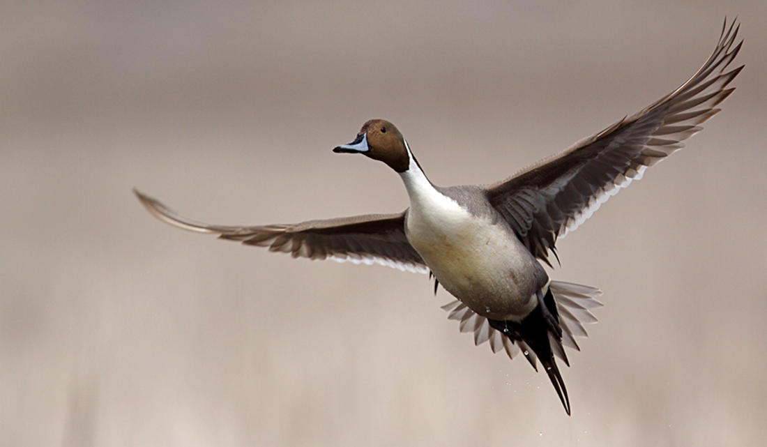Pacific Flyway hunting often involves pintails, whether on California's famed marshes or elsewhere in this waterfowl-rich flyway. Photo © Tom Reichner/Shutterstock