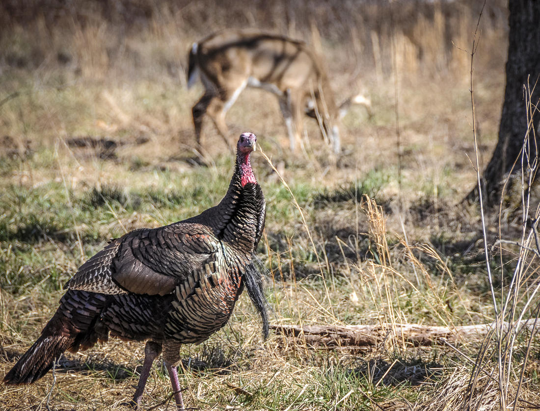 Overlapping turkey and deer seasons can be a bonus for the dual-threat hunter. (© Stephanie Mallory photo)