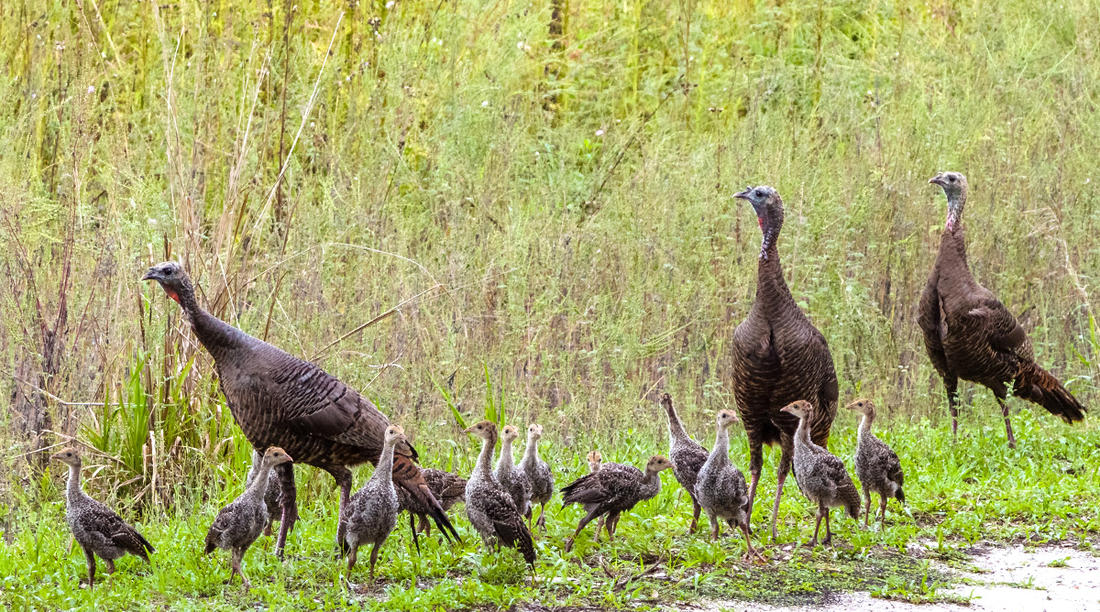 Turkey nuts like us all around the country are rubbernecking cut fields, looking for hens with poults, and yes, hard-stopping on back roads when mama carefully leads those little ones across. (© Jim Schwabel-Shutterstock photo)