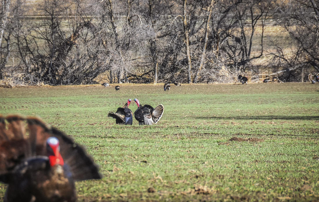 Some states with stable turkey populations and vast public lands may be just fine? (© Stephanie Mallory photo)
