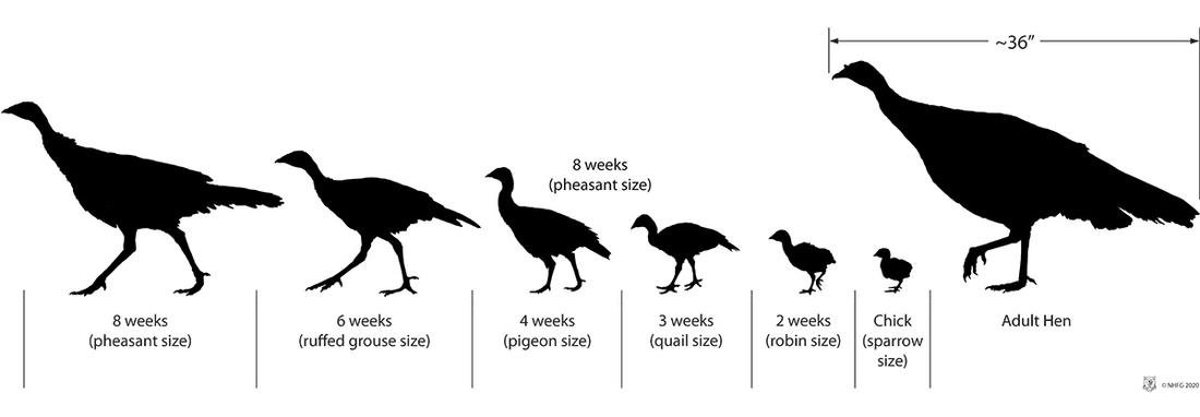 This chart is a solid reference for aging turkey poults. (Courtesy of the New Hampshire Fish & Game Dept.)