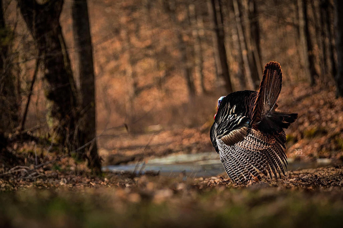 You are a predator, but when that turkey gobbler is hunting down the location of your calls, you are the hunted. And THAT is one thrill of it, of many. Image by Kerry B. Wix