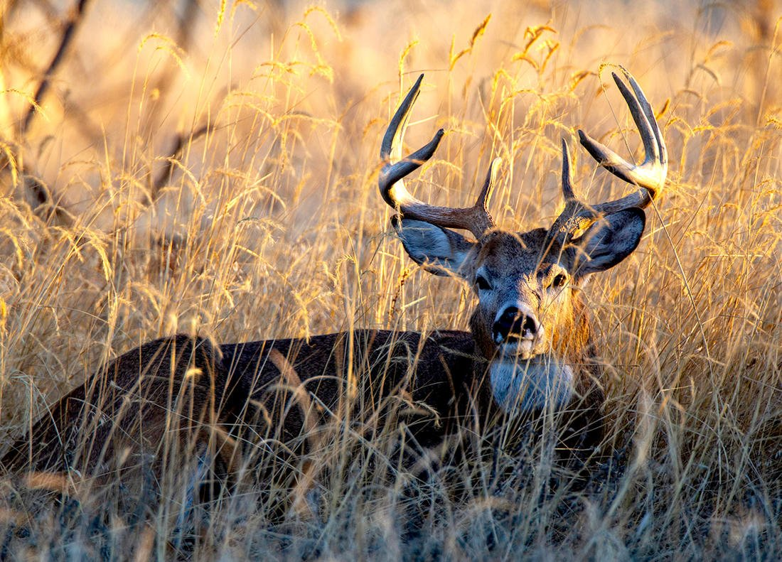 Hunting seasons may be over, but whitetails are still making the news. Image by Russell Graves