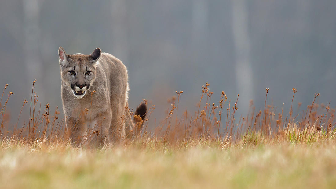 Several underweight mountain lions have been spotted in California's Santa Cruz County. ©Milan Zygmunt-Shutterstock