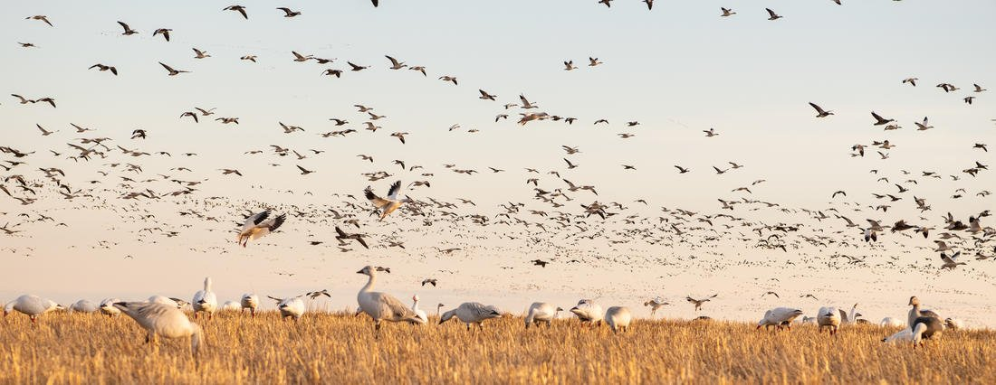 Spring light-goose hunters aren't sure what they'll encounter this season, but glimmers of hope exist. Photo by Zach LaBorde