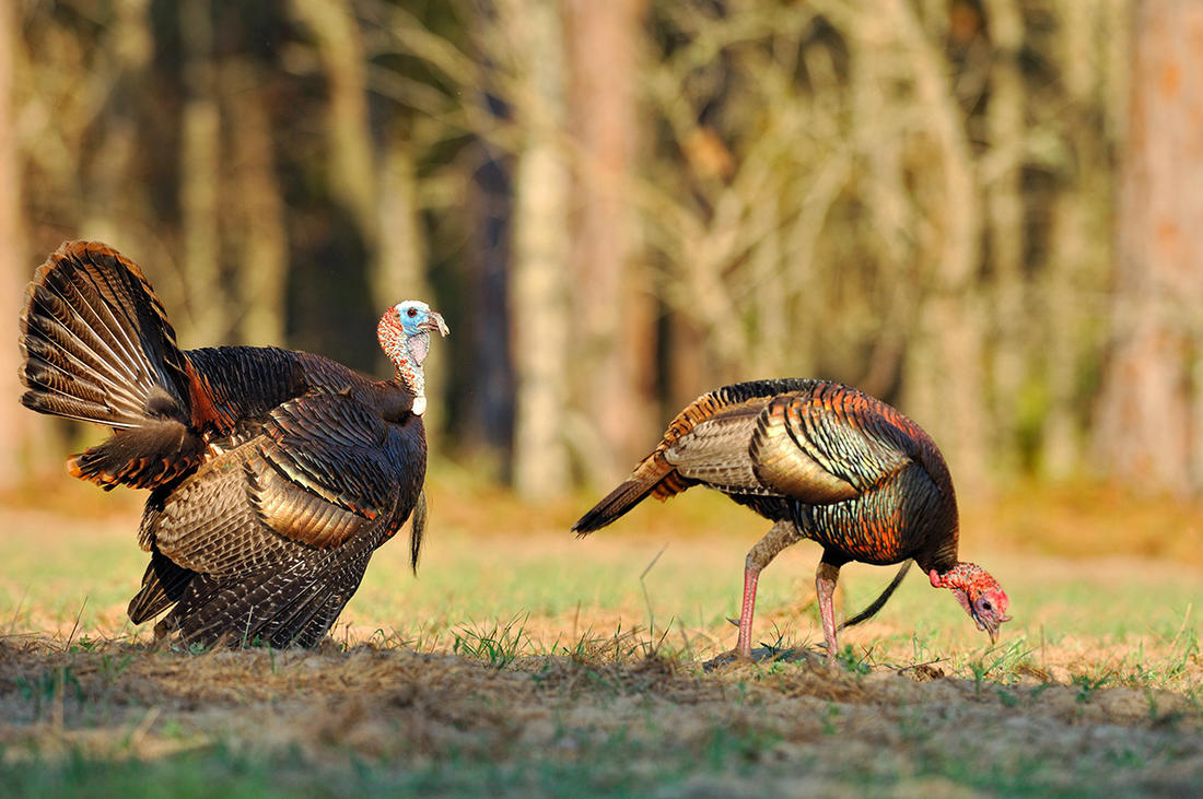 Florida is a prime early destination to start spring turkey season. Image by Tes Randle Jolly