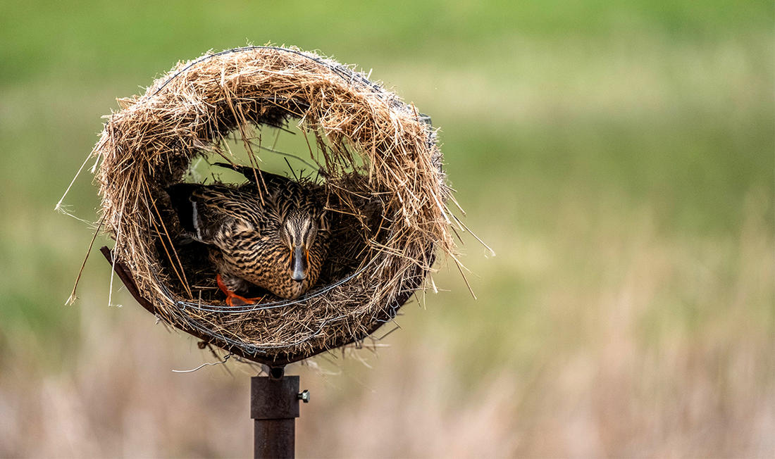 Elevated hen houses give mallards a safe nesting area away from mammalian predators. Photo by Delta Waterfowl