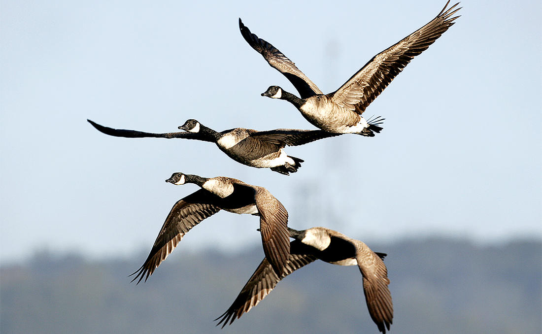 Local honkers are fairly easy to pattern before early seasons, but changing food sources and other factors can make them shift patterns by the opener. Photo by Dennis W. Donohue/Shutterstock