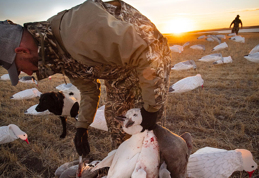 Poor spring production usually equates to poor spring hunting the next year, so snow goose hunters are hoping to see lots of juvenile birds in the 2021 northward migration. Photo by Forrest Carpenter