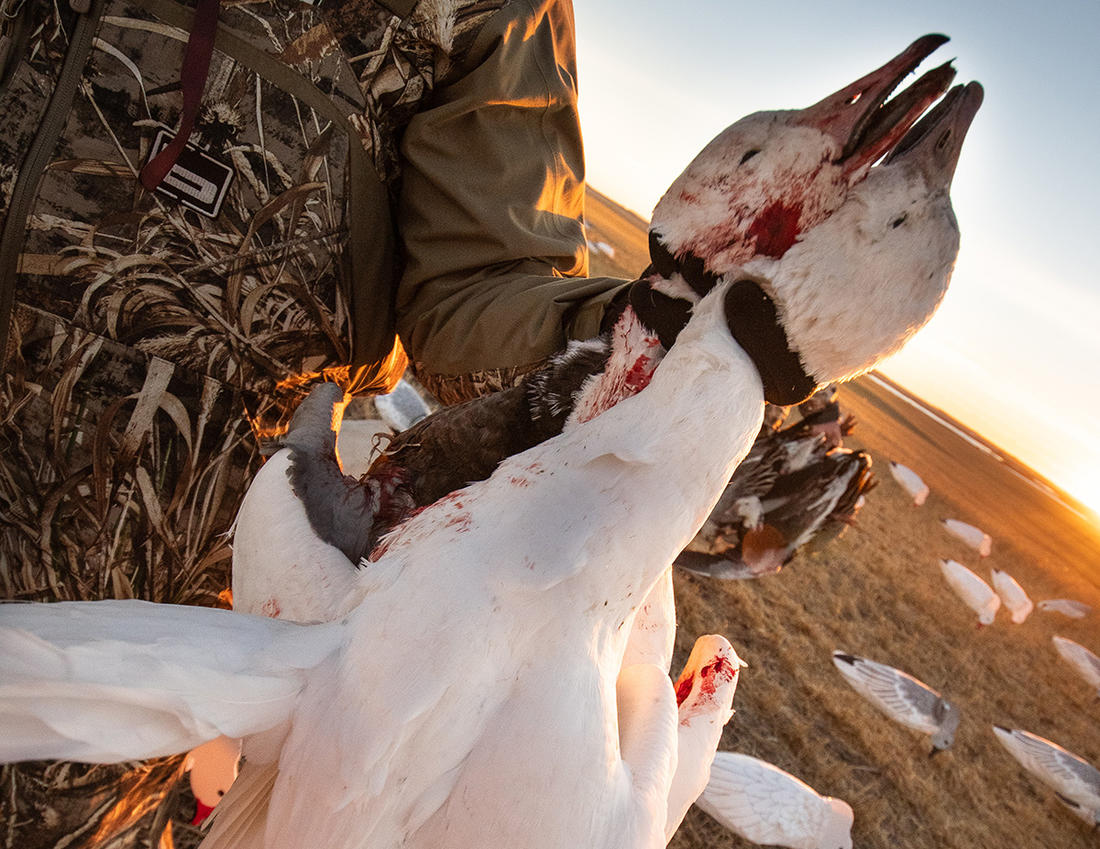 Spring light geese are notoriously wary, but seasoned hunters have figured out crafty ways to fool them consistently. Photo by Forrest Carpenter