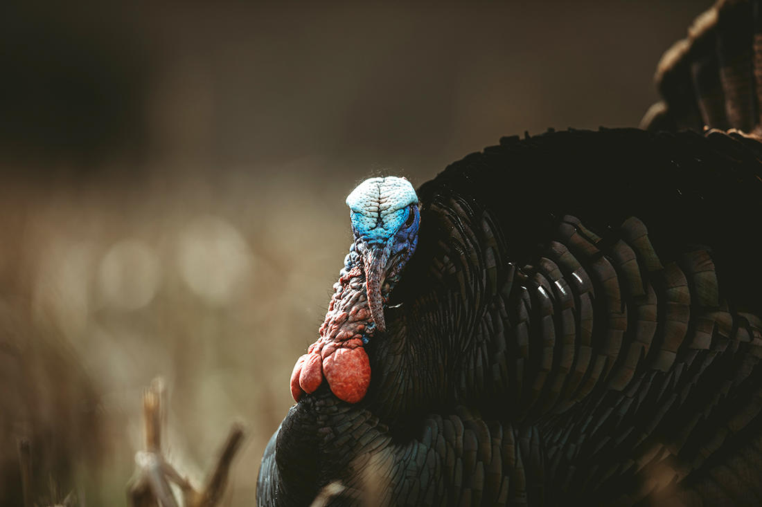 Mississippi, Oklahoma and Ohio are three states, among others, introducing changes due to declining wild turkey populations. Image by Kerry B. Wix