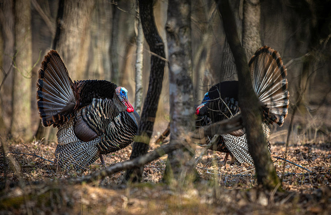 The beauty of mountain turkeys is some will give you fits, and others will allow you to slip right in and call one up. Image by Kerry B. Wix