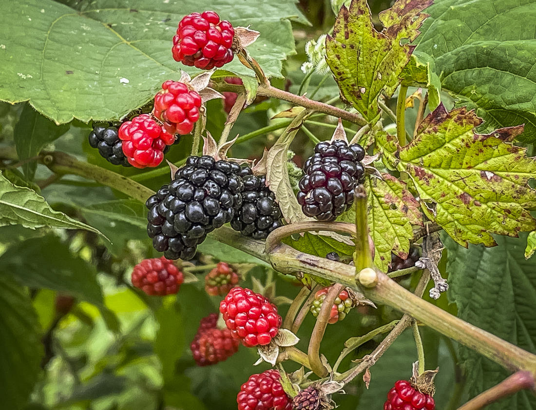 Take advantage of ripe blackberries by adding them to your aebleskivers.