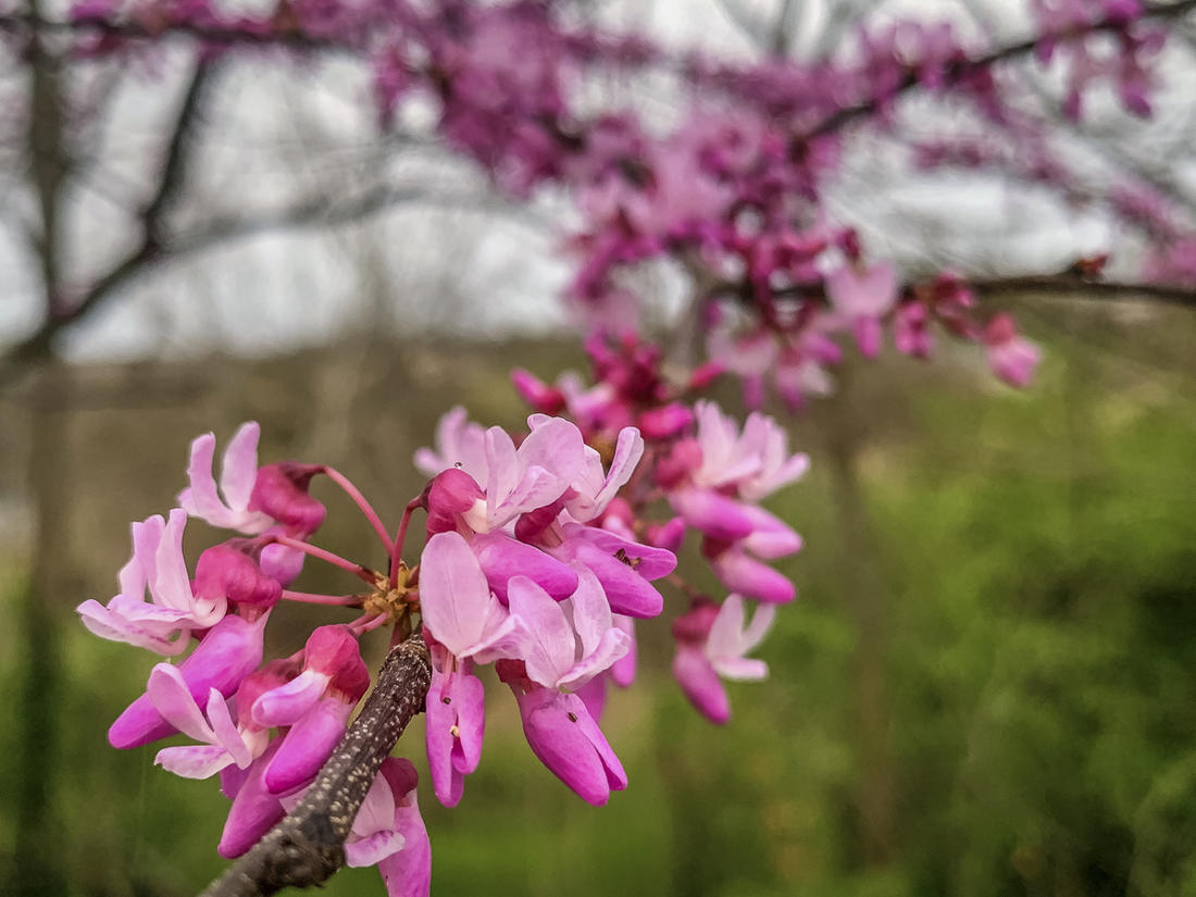 It just so happens that the redbuds in our area bloom about the same time the panfish start to bite.