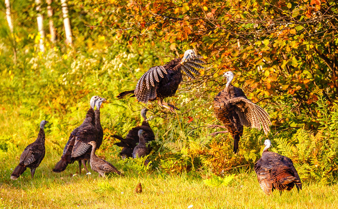 Blind views can include brood hens contesting territorial dominance. It's also a great way to gauge your local turkey hatch. Image by Michael Tatman/Shutterstock