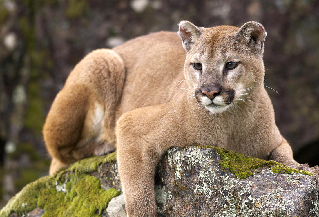 The California Department of Fish and Wildlife is relocating mountain lions over 100 miles away from the bighorn sheep herds. Image by Moose Henderson / Shutterstock