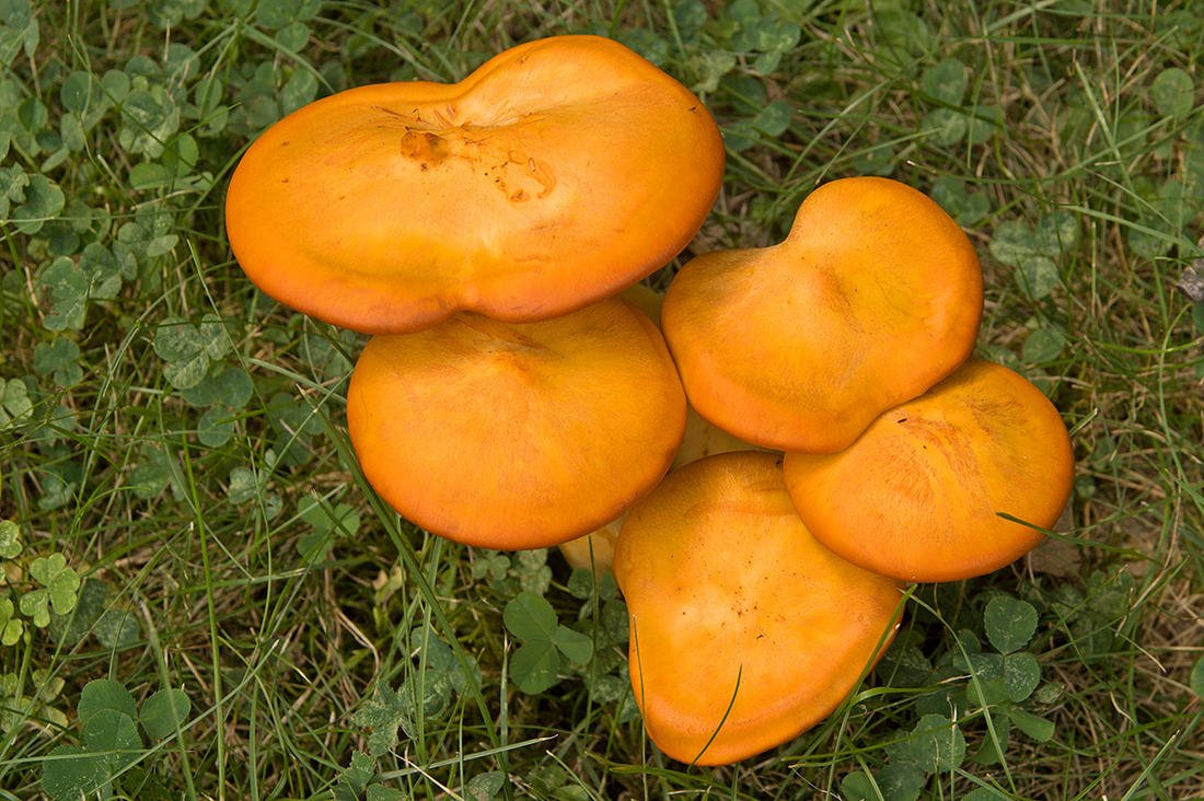 Jack-o'-lantern mushrooms are the most common lookalike to chanterelles. Image by Ralf Broskvar / Shutterstock